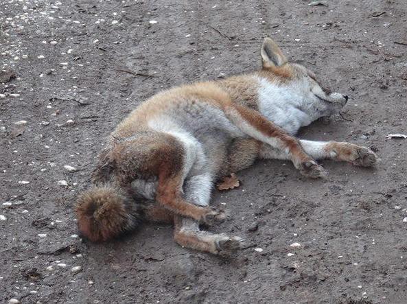 La volpe azzannata e uccisa a Villa Pamphilj, a Roma, da un cane (Omniroma)