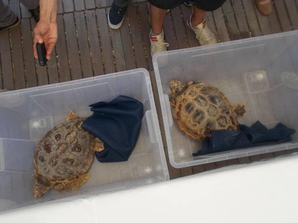 I due esemplari di tartaruga arrivano nel porto per essere liberate nella acque a largo di Castel Fusano