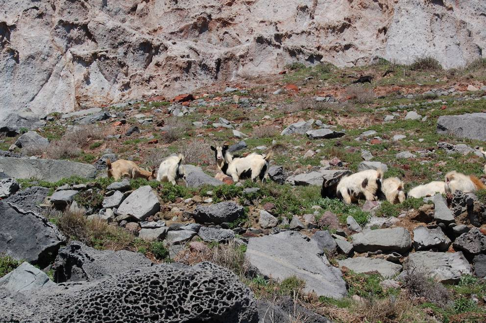 Isole pontine lotta alle specie infestanti for Cattura per capre