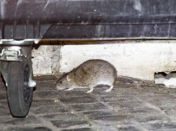 I topi tra i cassonetti di Castel Sant'Angelo (Foto Lapresse)