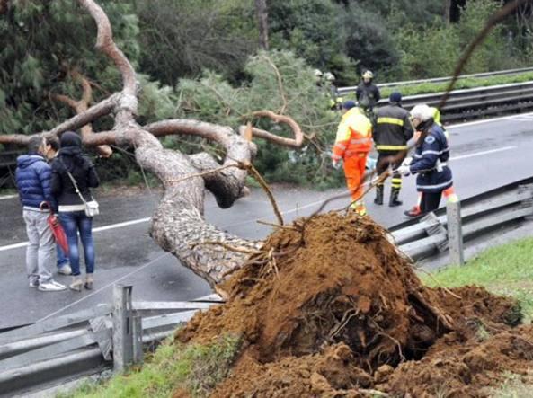 Il pino che cadendo ha ucciso Gianni Danieli il 1° dicembre 2013  (Proto)