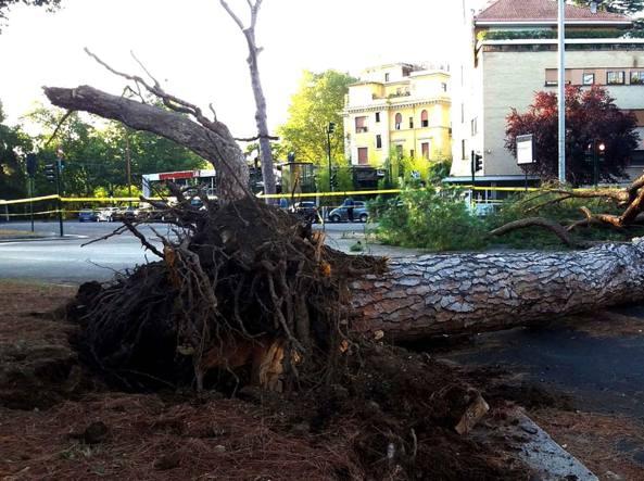 L'albero caduto in viale Mazzini martedì sera alle 22, nessun ferito (Foto Proto)
