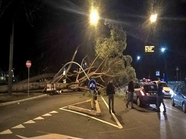 Uno dei pini crollato a piazza della Libertà (Proto)